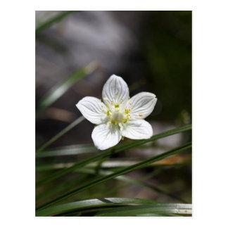 Marsh grass of Parnassus (Parnassia palustris) Postcard