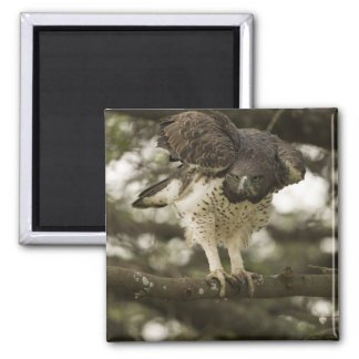 Martial Eagle adult in tree Square Magnet