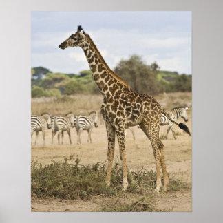 Masai Giraffe and Common Zebra at Amboseli NP, Poster
