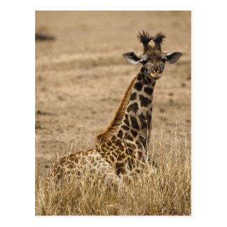 Masai Giraffe, Giraffa camelopardalis, resting Postcard