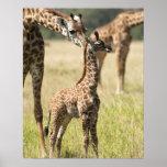 Masai giraffes, Giraffa camelopardalis 2