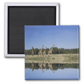 Masai Giraffes, Giraffa camelopardalis, Masai Magnet