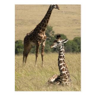 Masai giraffes, Giraffa camelopardalis Postcard