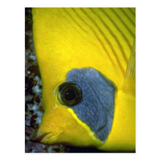 Masked butterfly fish post card