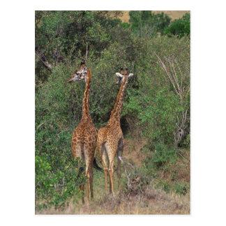 Massai Giraffe 3 Postcard