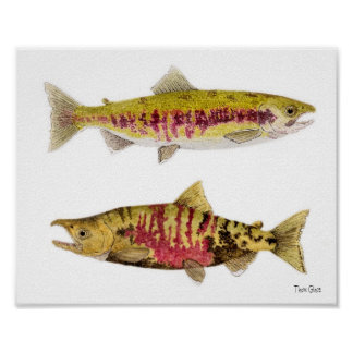Mated Pair of Chum Salmon Poster