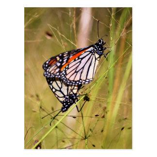 Mating Monarch Butterflies Postcard