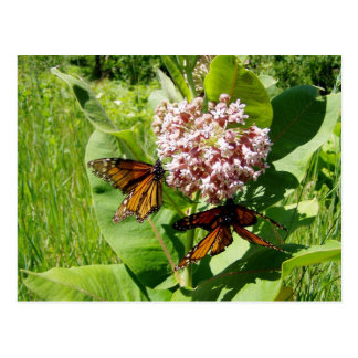Mating Monarch Butterfly on Milkweed Photo Post Card