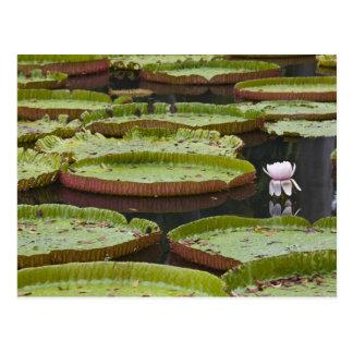 Mauritius, Pamplemousses, SSR Botanical Postcard