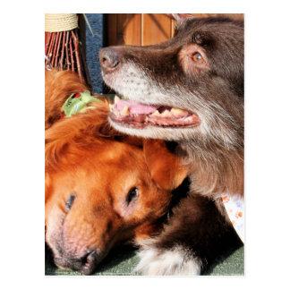 Max - Gold Retver Charlie Brwn - Aust Shep Photo-2 Postcard