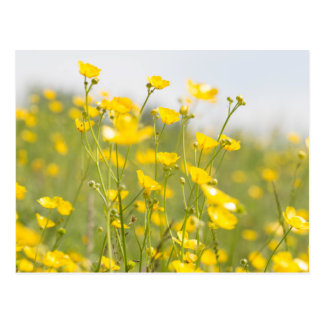 Meadow Buttercups Postcard
