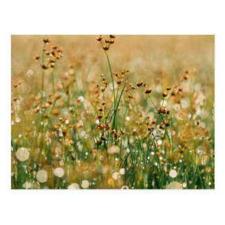 Meadow Morning Dew Postcard