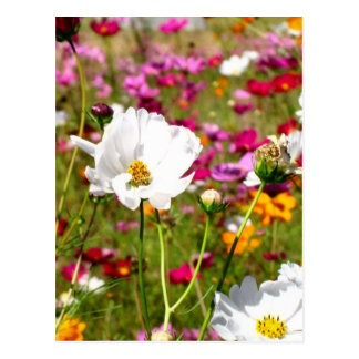 Meadow of Flowers Postcard