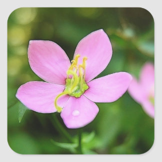 Meadow Pink - Sabatia campestris Sticker