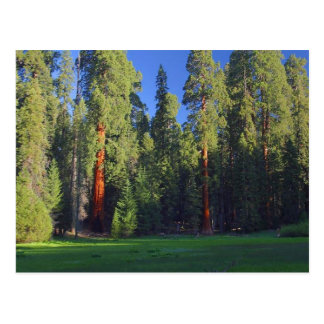 Meadows Sequoia Postcard