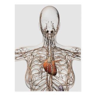 Medical Illustration Of Female Lymphatic System Postcard