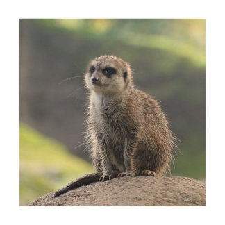 Meerkat_20171101_by_JAMFoto Wood Wall Art