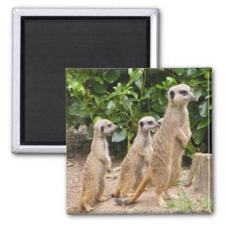 Meerkat magnet2 magnet