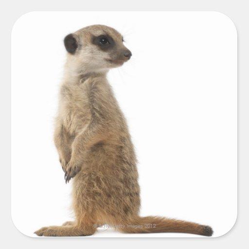 Meerkat or Suricate - Suricata suricatta Sticker