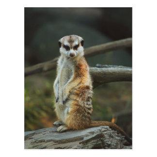 Meerkat Photo Postcard
