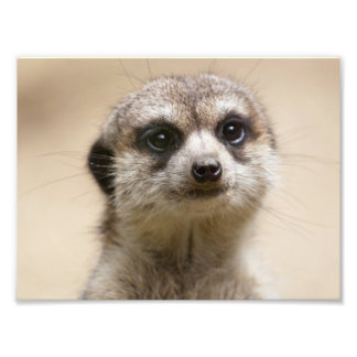 Meerkat Photo Print