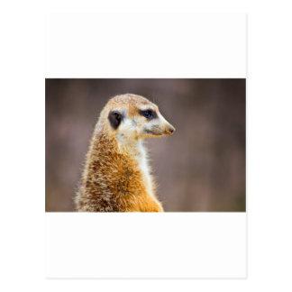 Meerkat profile postcard
