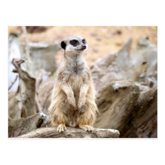 Meerkat standing tall postcard