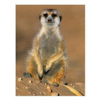 Meerkat (Suricata Suricatta) Sentinel At Den Postcard