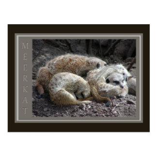 Meerkat Wildlife Postcard