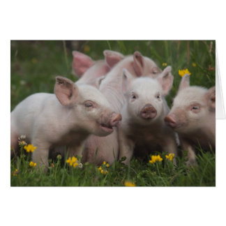 Meeting of the Three Little Pigs Card