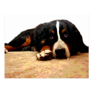 Mellow Bernese Mountain Dog Postcard