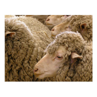 Merino sheep postcards
