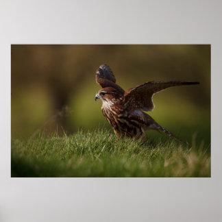 Merlin Falcon taking flight Poster