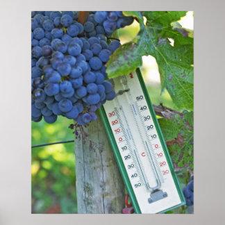 Merlot grapes at Chateau la Grave Figeac, a Poster