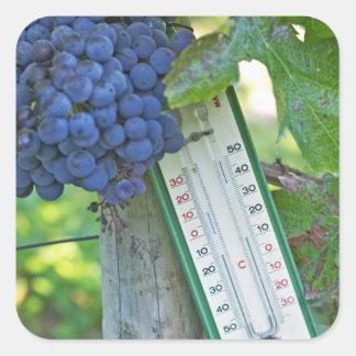 Merlot grapes at Chateau la Grave Figeac, a Square Sticker