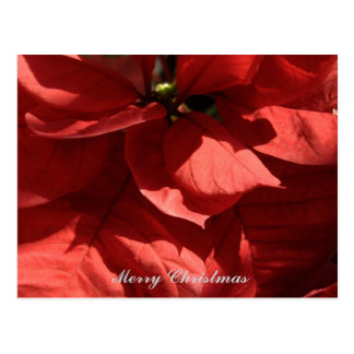 Merry Christmas Red Poinsettia Flowers Postcard