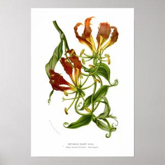 Methonica plantii (Gloriosa superba) Poster