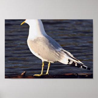 Mew Gull Calling Poster