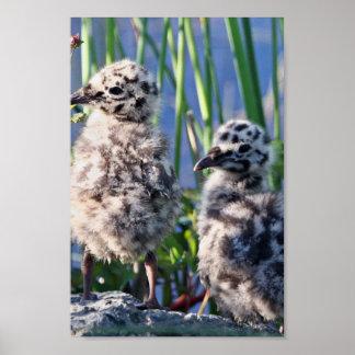 Mew Gull Chicks Print