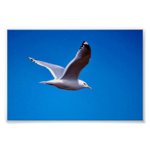 Mew Gull in Flight Posters