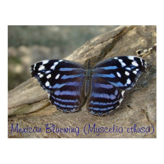 Mexican Bluewing (Myscelia ethusa) butterfly Postcard