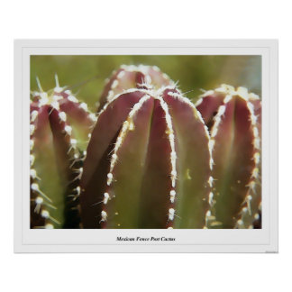 Mexican Fence Post Cactus Poster