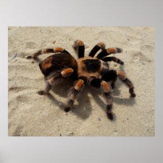 Mexican Flameknee Tarantula spider Poster