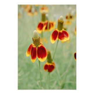 Mexican Hat Texas Wildflowers Photo Print