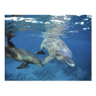Mexico, Cozumel. Bottlenosed Dolphin, Tursiops 5 Postcard