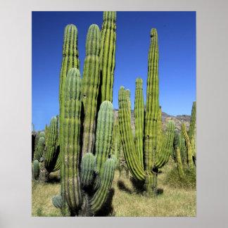 Mexico, Sonora, San Carlos. Saguaro & Organ Pipe Poster