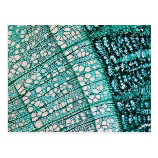 Microscope micrograph of pine tree wood cells postcard