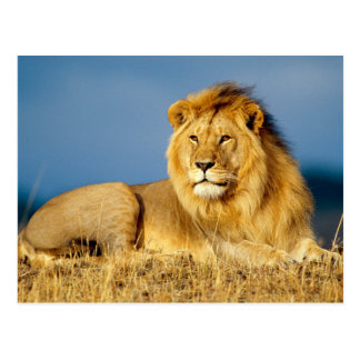 Mighty Male Lion Postcard