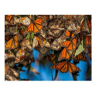Migrating monarch butterflies cling to leaves postcard