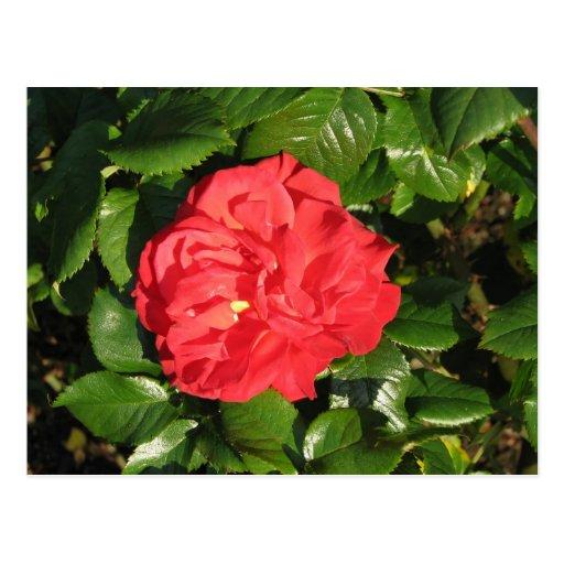 Mikado Hybrid Tea Rose 007 Post Cards